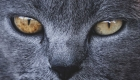 yeux-chat