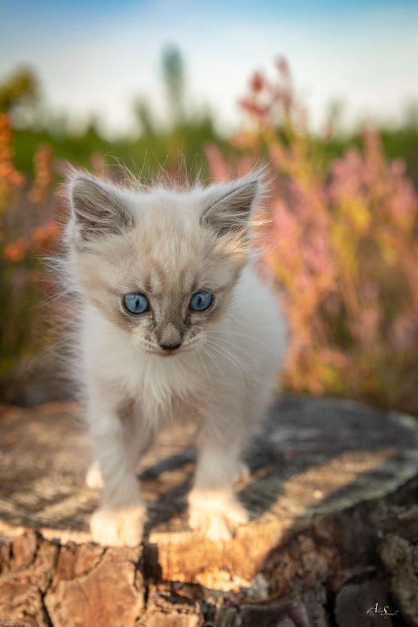 CHATON-yeux-bleu