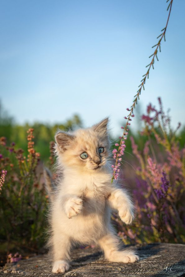 chaton-bruyere