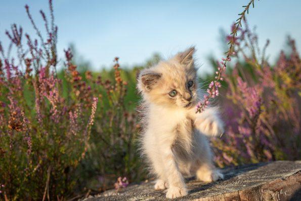 chaton-dans-la-callune