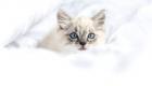 chaton-yeux-bleus