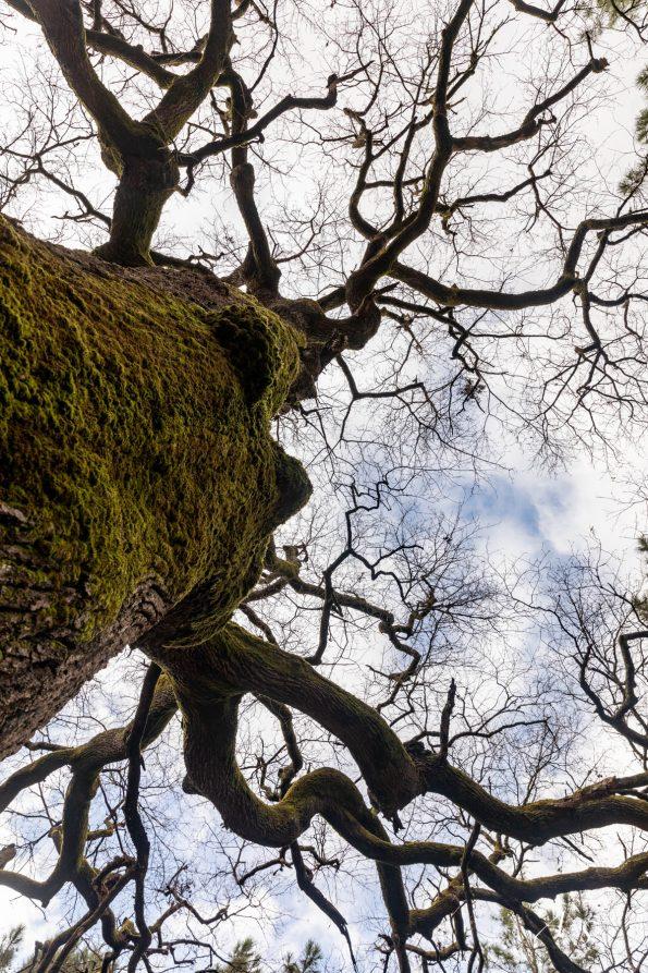arbre de nerthe